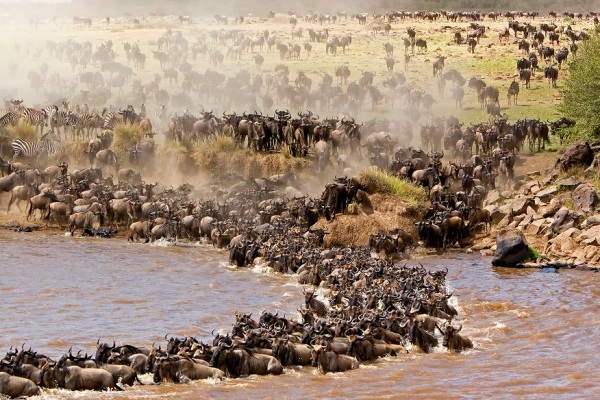 wildebeest migration on the mara river
