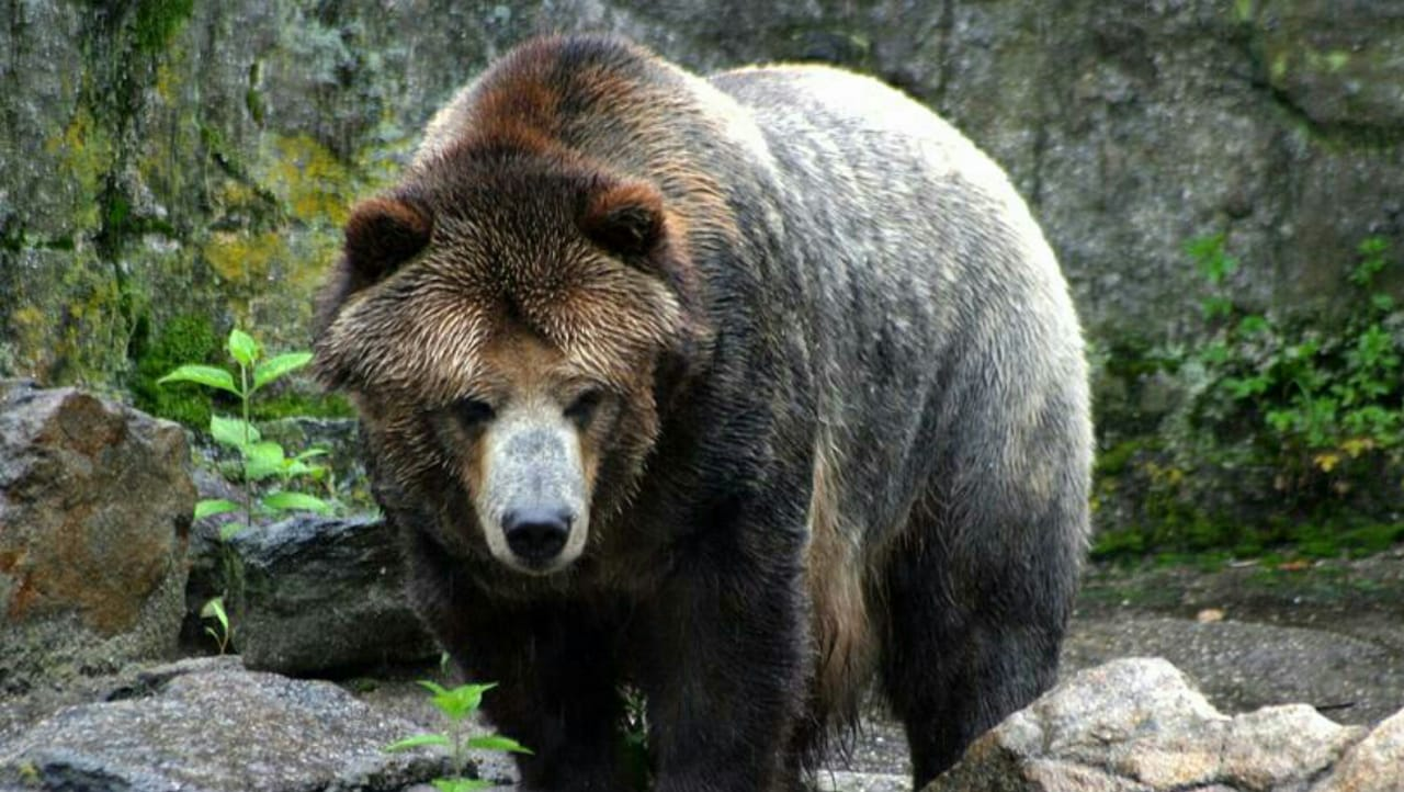 grizzy bear-giant brown bear