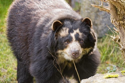 Spectacled bear is the only native south american bear remaining in the wild
