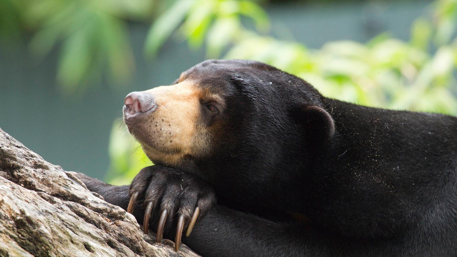 sun bear facing extinction