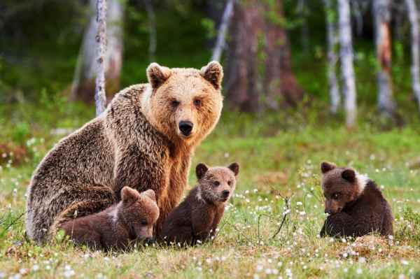 family of bear in types of bears left in the wild today