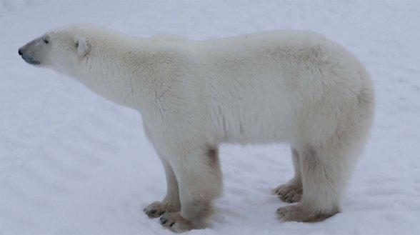 polar bear facing extinction due to global warming